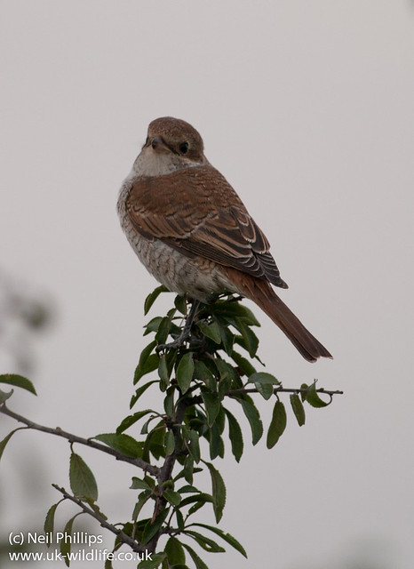 red backed shrike-2