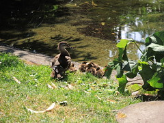 Duck Family at Zurichhorn