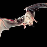 Mexican Free-tailed Bat. Image Credit: Ron Groves, Public Domain. http://eol.org/data_objects/13144883