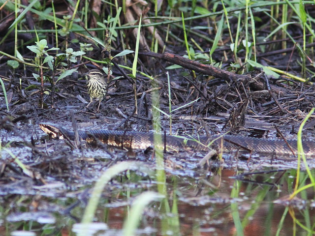Northern Waterthrush with Cottonmouth 09-20131008