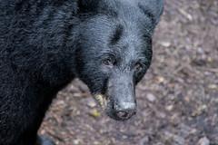 Wild Black Bear at Anan Bear Observatory