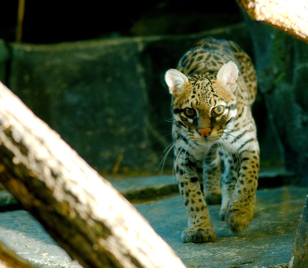Ocelot (Leopardus pardalis)_3