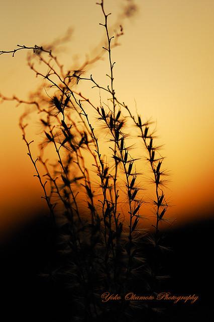 夕陽の沈む頃 Japanese pampas grass of the late fall