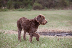 boykin spaniel(0.0), irish water spaniel(0.0), german wirehaired pointer(0.0), spanish water dog(0.0), american water spaniel(0.0), miniature poodle(1.0), dog breed(1.0), animal(1.0), dog(1.0), curly coated retriever(1.0), lagotto romagnolo(1.0), mammal(1.0), barbet(1.0),