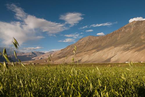 India - Barley fields in Zanskar valley