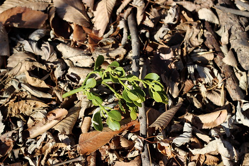 Mistletoe 5