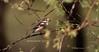 Masked Shrike ( Lanius nubicus) by Abubakr Mohammad
