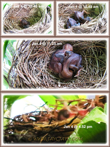 One-day-old hatchlings of Pycnonotus goiavier (Yellow-vented Bulbuls) at our backyard, Jan 4 2014
