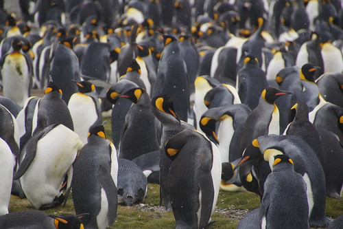 462 Koningspinguins