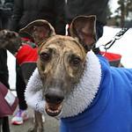 Greyhound Adventures at Cushing Memorial Park, Framingham MA,  March 2nd 2014