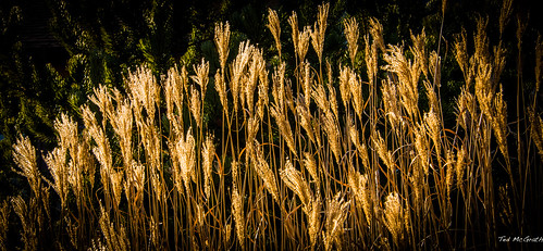 old backlight reeds dead golden bc explore vignetting squamish oldgrowth backlighted britishcolombia squamishbc explored inexplore cans2s brakendale tedsphotos