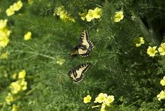 A pair of butterflies  fluttering together DSC_0282