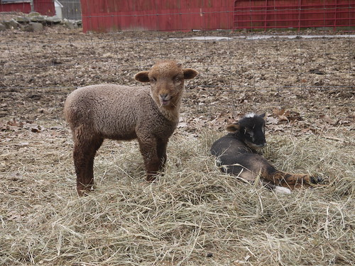 Baby rams