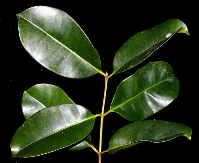 Syzygium papyraceum DSC_0271 (2)