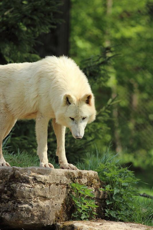Loups arctiques (Artic wolves) Parc Animalier Sainte-Croix