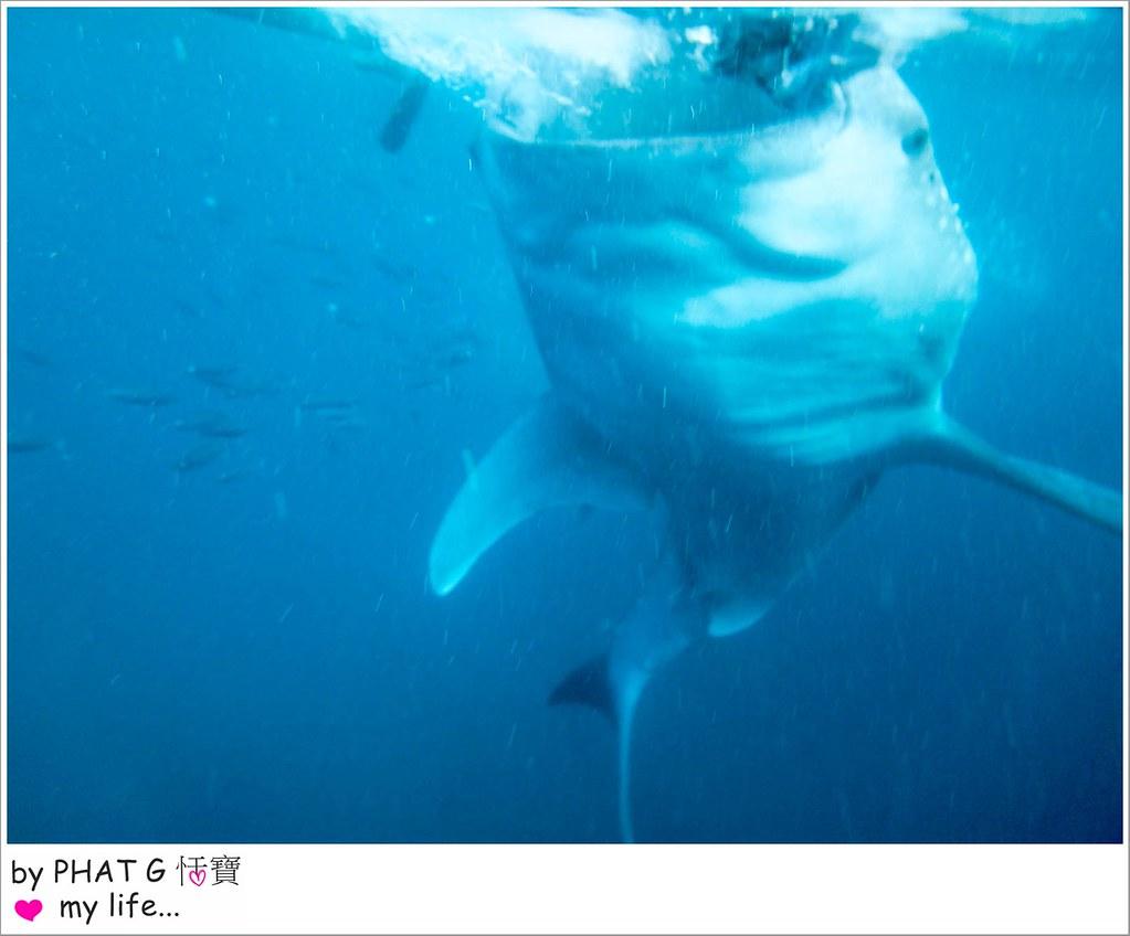 cebu whale shark 13-2