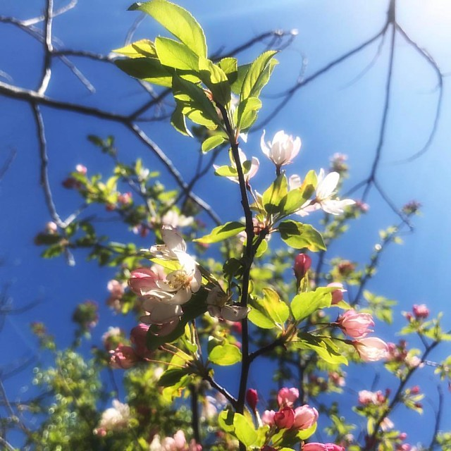 Crabapple #flowers #floweringtrees #spring #crabapple #bluesky