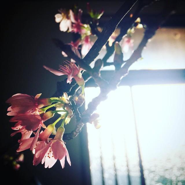 とにかく眠い。  #goodmorning #cherryblossom #flower #japan #igersjp #instagram #ig_japan