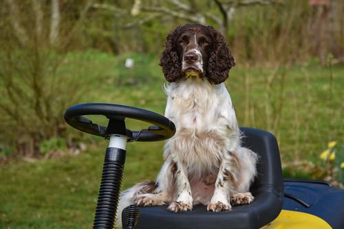 52weeksfordogs animal grass outdoor spaniel zigzag dog hund landscape nature pet hurupthy northdenmarkregion denmark dk