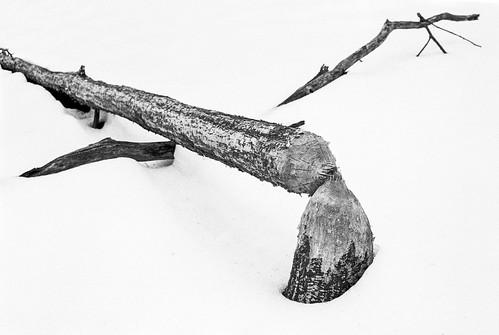 irelandbrooktamarackhollowextension intimatelandscape nature tree eastbrunswick forest nj beaver trix bw leicacl film snow newjersey unitedstates us diafine
