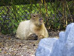 Memphis Zoo 08-31-2016 - Capybara 1