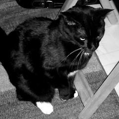 Manhattan Cat I
