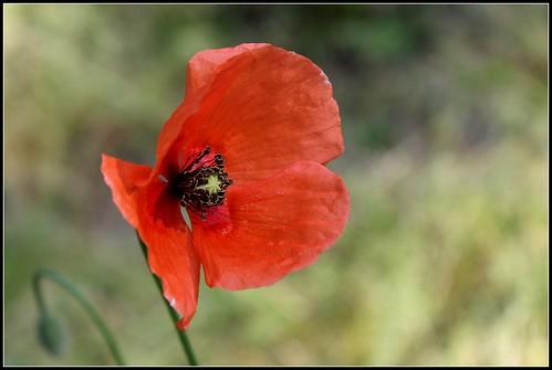 Papaver dubium subsp. dubium - pavot douteux 34039325122_ce8f79158c