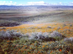 Wildflowers of California superbloom