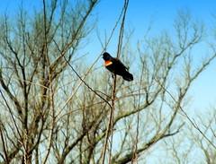 Singer-Soloist. Red-winged Blackbird