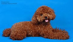 american water spaniel(0.0), toy poodle(1.0), miniature poodle(1.0), dog breed(1.0), animal(1.0), dog(1.0), schnoodle(1.0), pet(1.0), lagotto romagnolo(1.0), poodle crossbreed(1.0), irish water spaniel(1.0), poodle(1.0), cockapoo(1.0), goldendoodle(1.0), spanish water dog(1.0), barbet(1.0), carnivoran(1.0),
