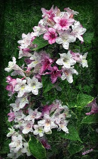 Variegated weigela painting.5.18.13.jpg