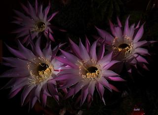 Feliz jueves de flores ...echinopsis oxigona-Exp.