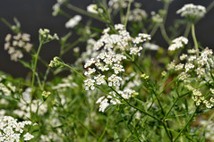 blossom(0.0), iberis sempervirens(0.0), candytuft(0.0), macro photography(0.0), apiales(1.0), yarrow(1.0), flower(1.0), cow parsley(1.0), plant(1.0), herb(1.0), anthriscus(1.0), wildflower(1.0), flora(1.0), produce(1.0), caraway(1.0),
