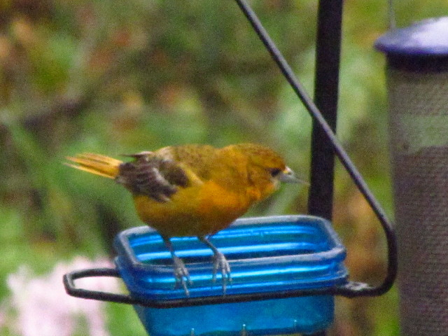 Oriole fledgling2 7:1:13
