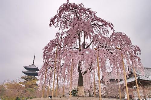 【写真】桜 : 東寺