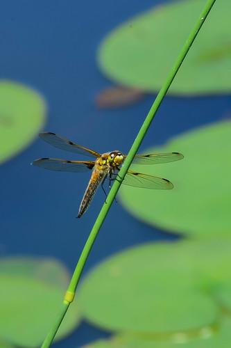 <p><i>Libellula quadrimaculata</i>, Libellulidae<br /> Grant Narrows, Pitt Meadows, British Columbia, Canada<br /> Nikon D5100, 70-300 mm f/4.5-5.6<br /> June 30, 2013</p>