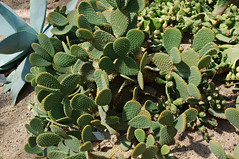 shrub(0.0), flower(0.0), annual plant(1.0), barbary fig(1.0), plant(1.0), eastern prickly pear(1.0), nopal(1.0), cactus family(1.0),