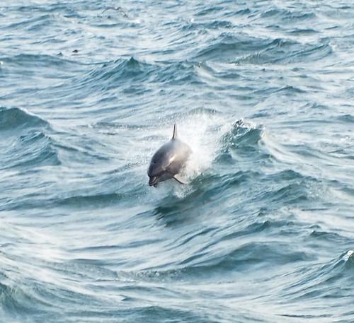 Delfinek vonulnak a Fekete-tengerre