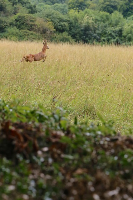Roe deer leaping from Sandwalk at Down House