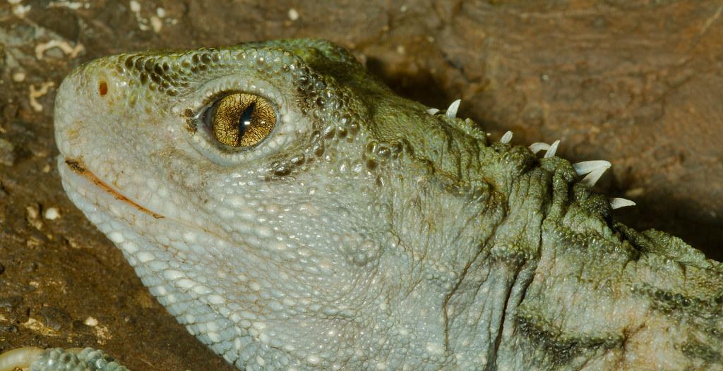 Tuatara (Sphenodon punctatus)_7