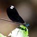 Ebony Jewelwing - Photo (c) Mary Keim, some rights reserved (CC BY-NC-SA)