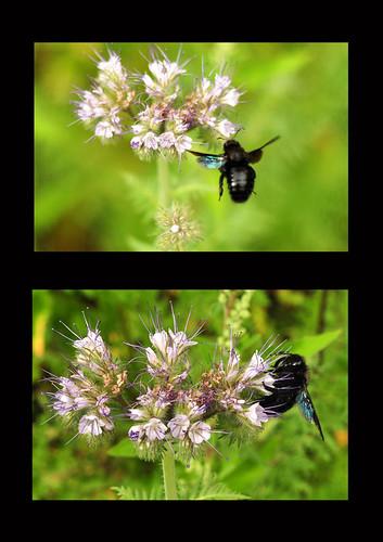 Holzbiene Rainfarn-Phazelie Phacelia tanacetifolia Rainfarnblättriges Büschelschön Bienenfreund Bienenweide Trachtpflanze Nektarquelle Pollenquelle