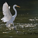 Great Egret at Carpentersville Dam by Wildside Photography by CJM