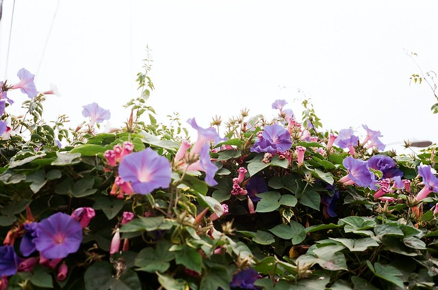 Morning Glories in Los Angeles