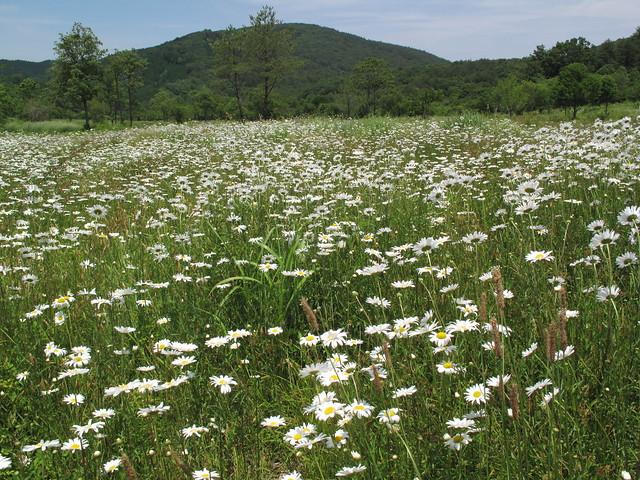 フランス菊のお花畑.外来種の強さに驚く.見た目はきれいでも,思いは複雑.