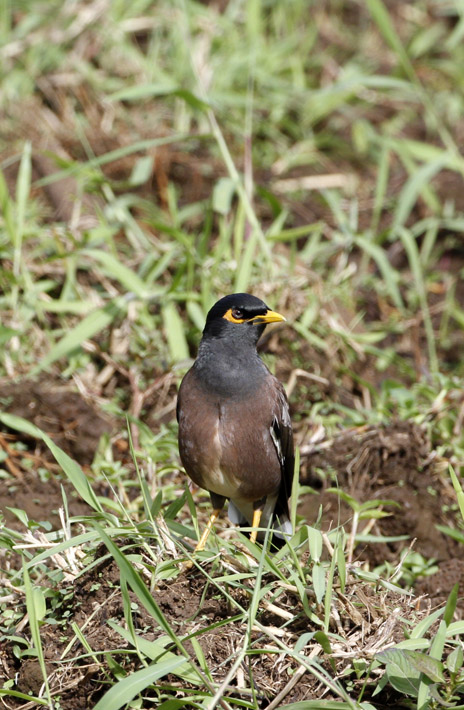 100513_11_commonMyna03