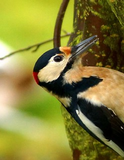 Mr Woodpecker...