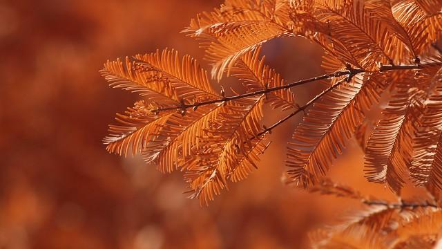 Meta sequoia (Dawn Redwood)