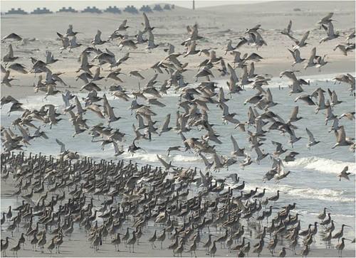 族群數量約500隻的大杓鷸。( 攝影:蔡嘉陽)