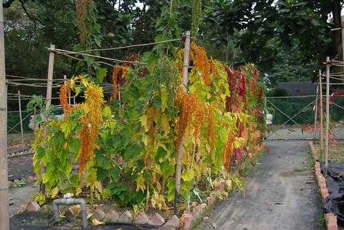 具多種艷麗色澤的紅藜果穗。(圖片來源:林務局)